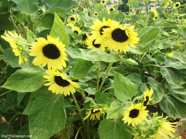 Sunflowers in food garden beds at East End Market