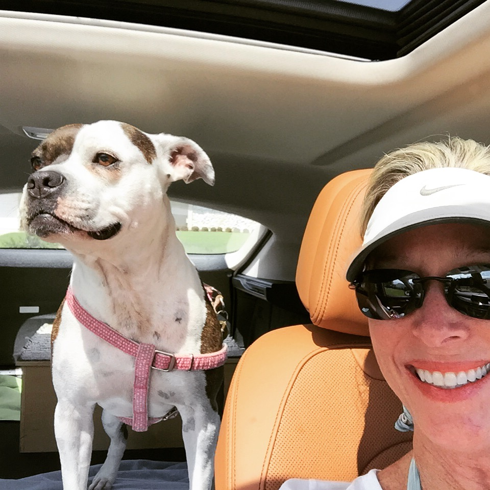 pit bull dog Diva riding in backseat of car with open sun roof