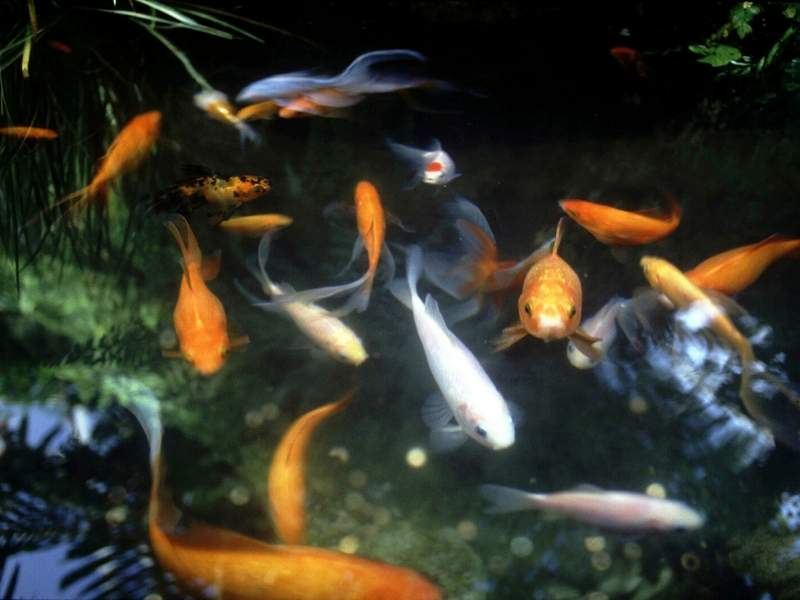 Your Fish Pond is Good for the Environment