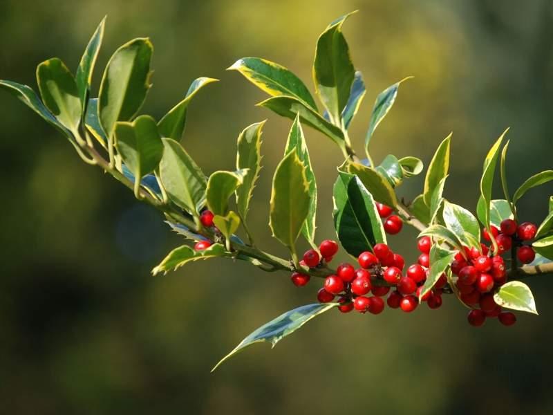 Holly holiday plants