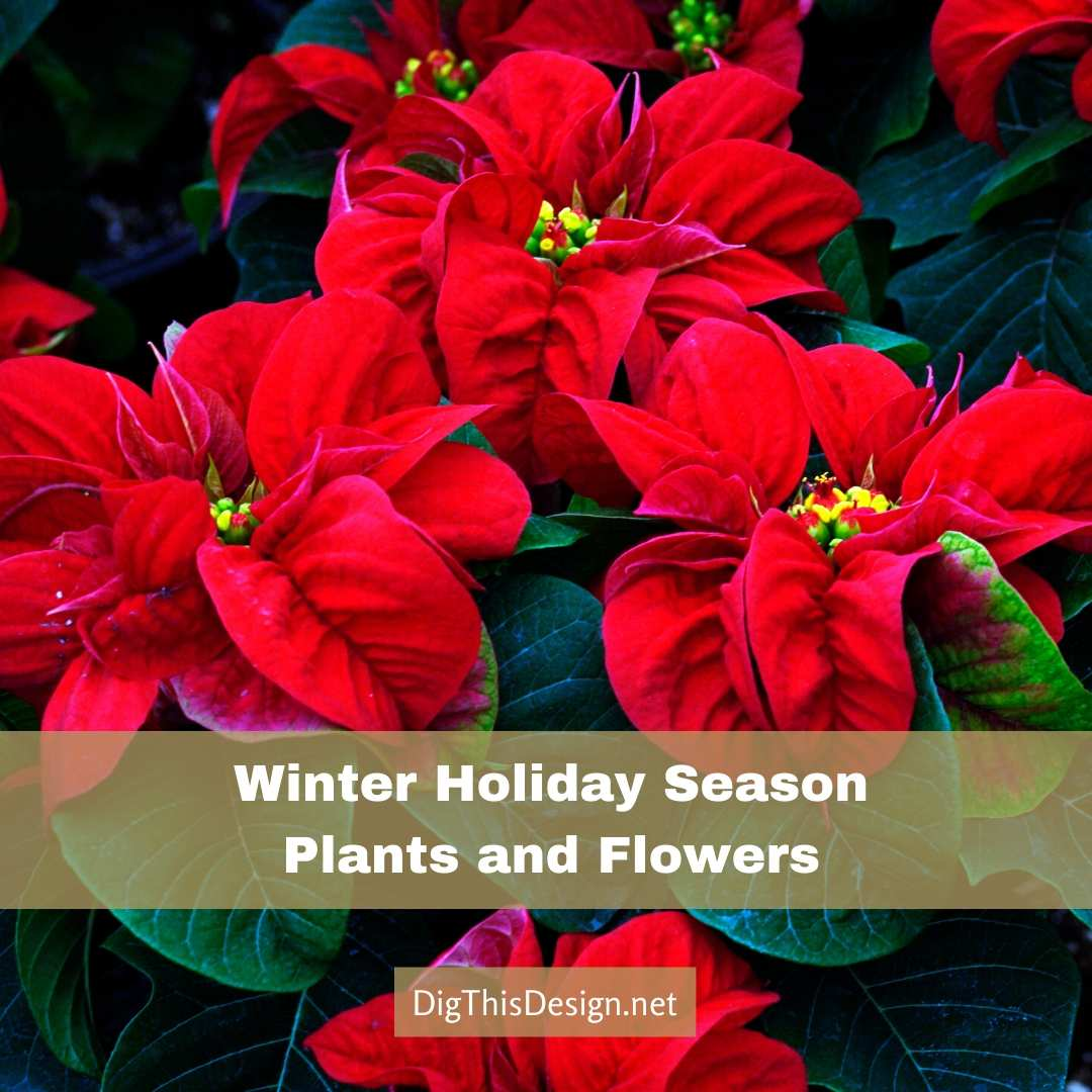 Winter Holiday Season Plants and Flowers