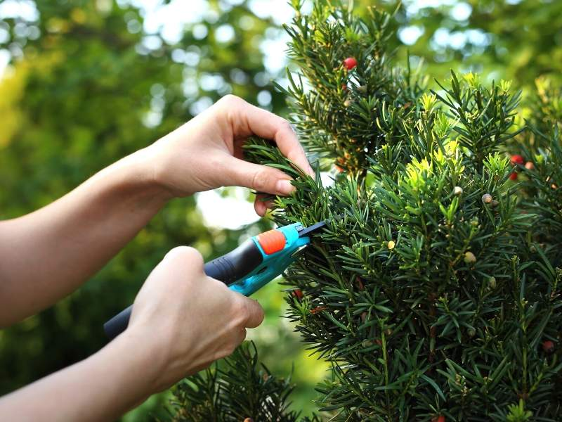 Japanese Yew Bush for Your Winter Design