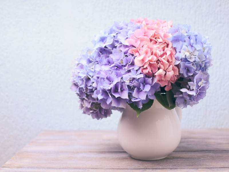 Hydrangeas of lavender and pink in a white pitcher pot