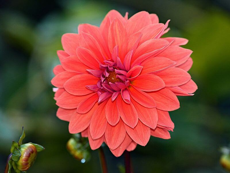 Bright Pink Dahlia