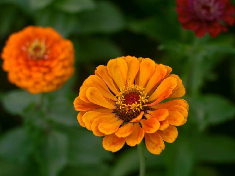 Gold-orange marigolds