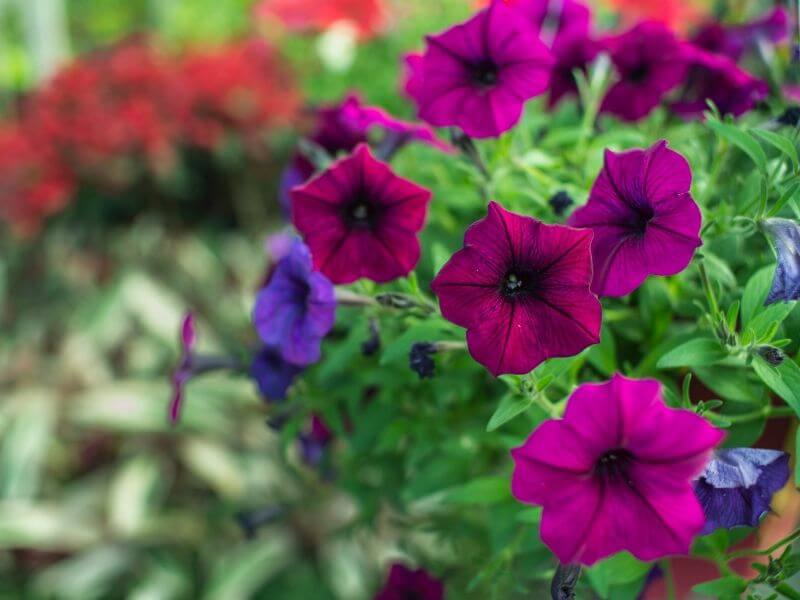 Petunias in deep pinks and purples