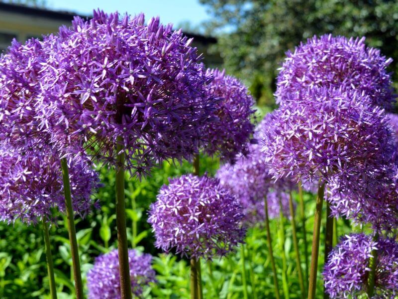 Purple Allium growing brightly