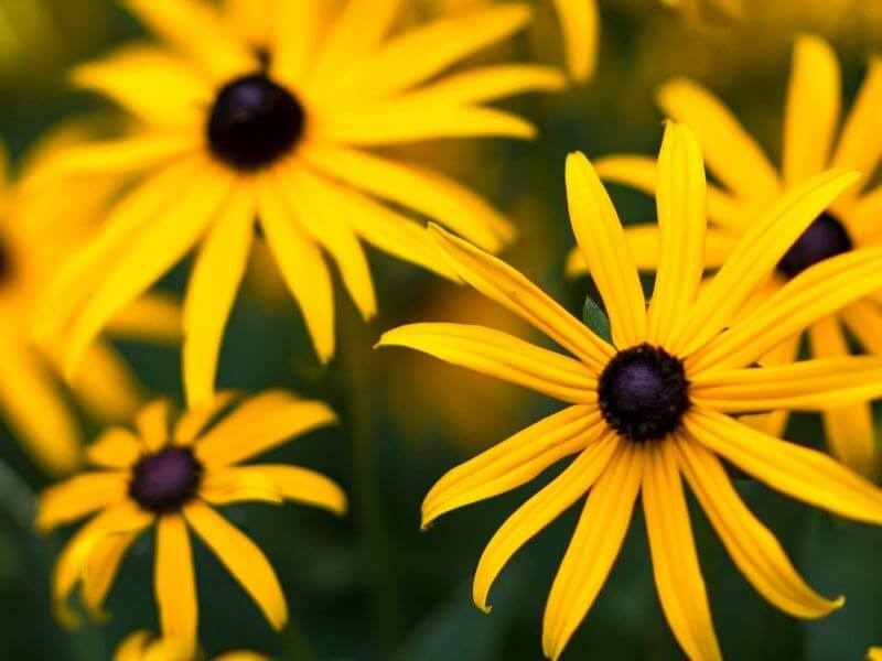 Daisy or Black-eyed Susan