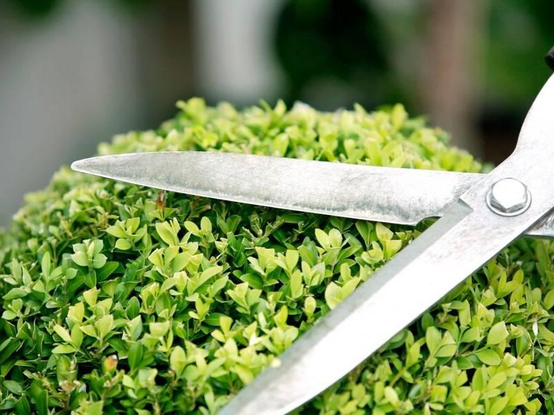 DIY Novice Trim the Hedges