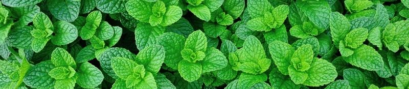 10 Plants that Naturally Keep Pests Out of Your Garden - Mint Plants