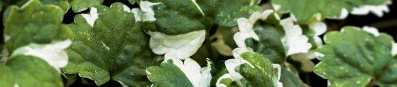 10 Plants that Naturally Keep Pests Out of Your Garden - Catnip