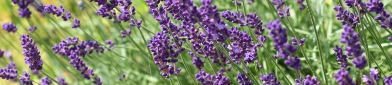 10 Plants that Naturally Keep Pests Out of Your Garden - Lavender Plants in Field
