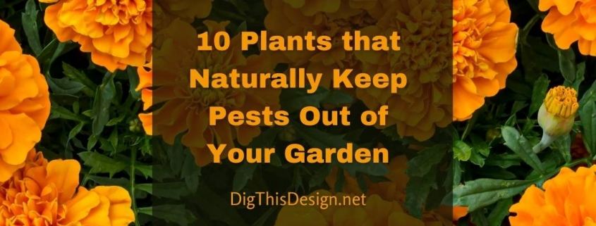 10 Plants that Naturally Keep Pests Out of Your Garden