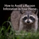 How to Avoid a Racoon Infestation in Your Home