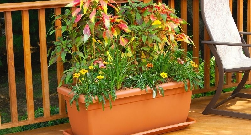 How To Create A Summer-Ready Patio - Vibrant reddish-green coleus and smaller yellow flowers in a patio planter on a wooden deck.