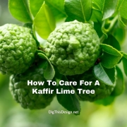 How To Care For A Kaffir Lime Tree