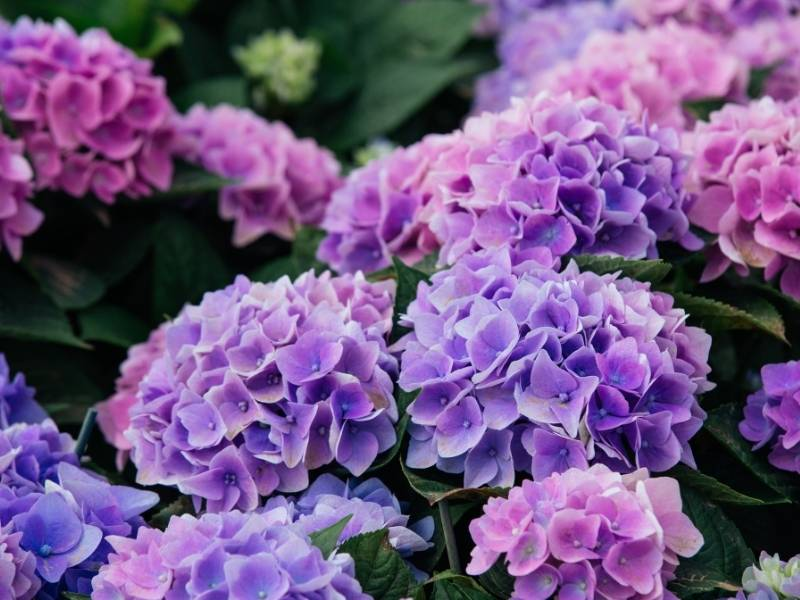 Expert Guidance to Keep Your Plants Alive -  Hydrangeas