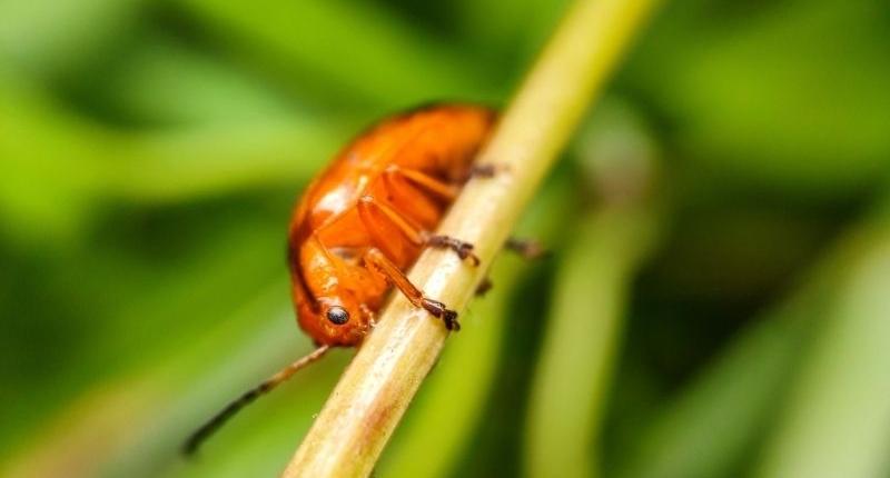 Common Household Pests - flea