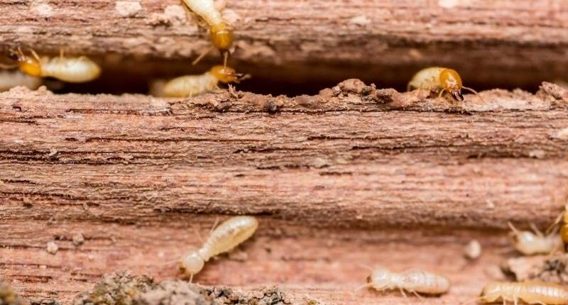 Common Household Pests - termites